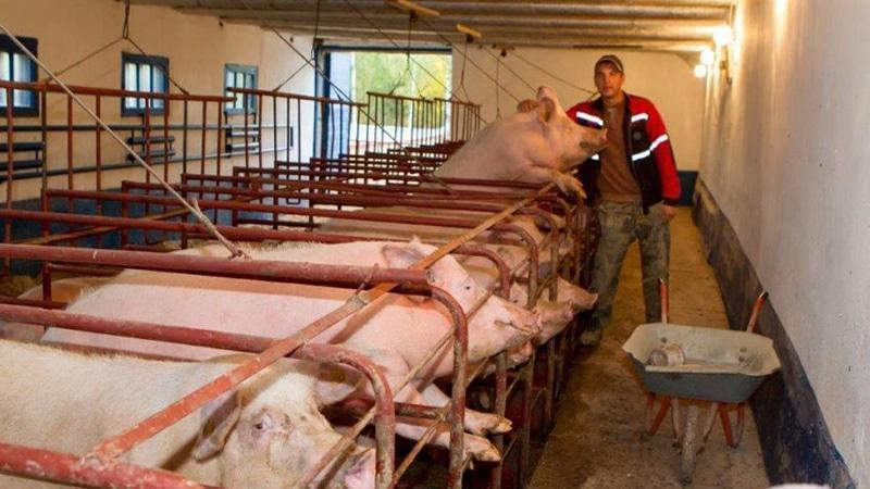 Свиноводство как фермерское хозяйство