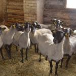 Овцеводство - направление фермерского хозяйства