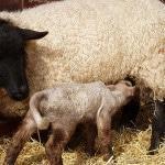 Овцеводство для начинающих