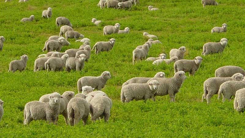 Овцеводство как бизнес