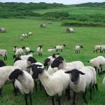 Начинаем бизнес - овцеводство