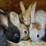 С чего начать разведение кроликов