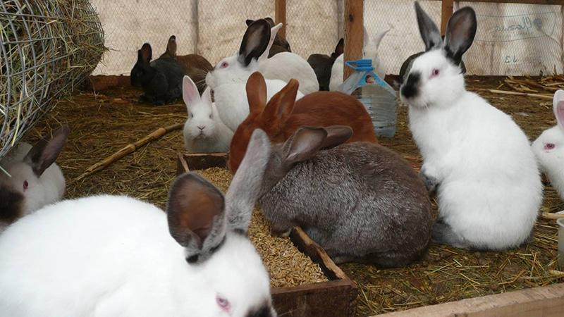 Закупка поголовья для разведения кроликов