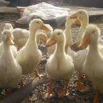 Птицеводство как домашний бизнес