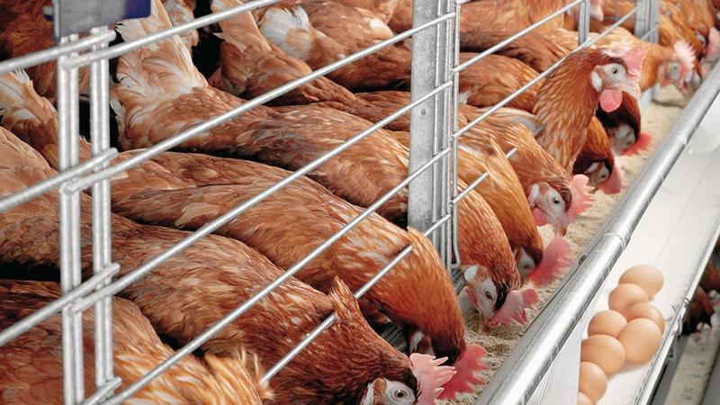 Птицеводство в домашних условиях: куры-несушки