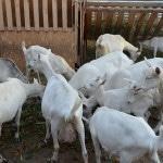 Содержание козы зимой