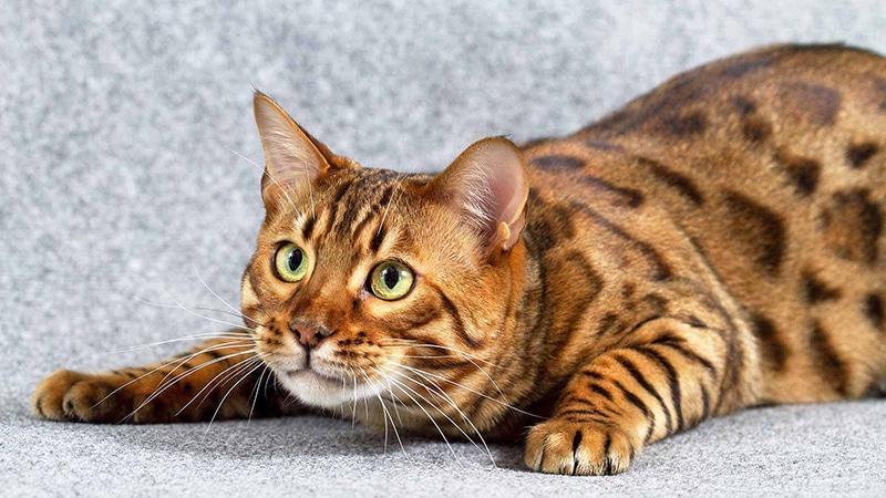 Разведение бенгальских кошек как бизнес