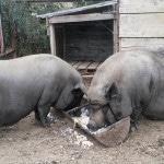 Выращиваем вьетнамских свиней на продажу