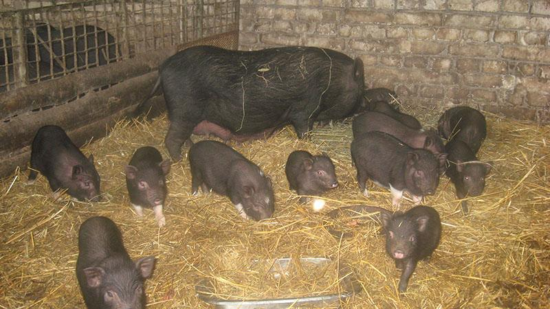 Вьетнамские свиньи: содержание и уход