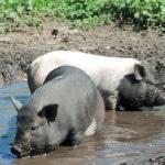 Вислобрюхие свиньи: содержание в домашних условиях