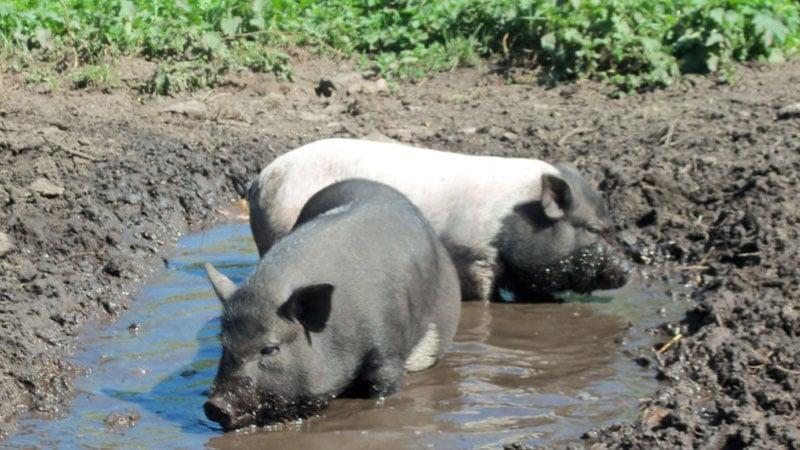 Содержание вьетнамских свиней в домашних условиях 50