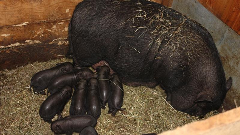 Содержание вьетнамских свиней в домашних условиях 62