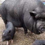 Выращивание вьетнамских свиней в домашних условиях на продажу