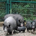 Территория для разведения вьетнамских свиней в домашних условиях