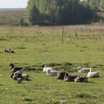 С чего начать разведение гусей в домашних условиях