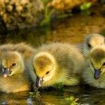 Разведение гусей как бизнес: закупка поголовья