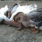 Гуси в домашних условиях: развод на мясо