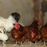 Куриный бизнес: с чего начать