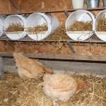 Выращивание кур-несушек в домашних условиях