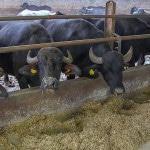 Как открыть свою ферму коров