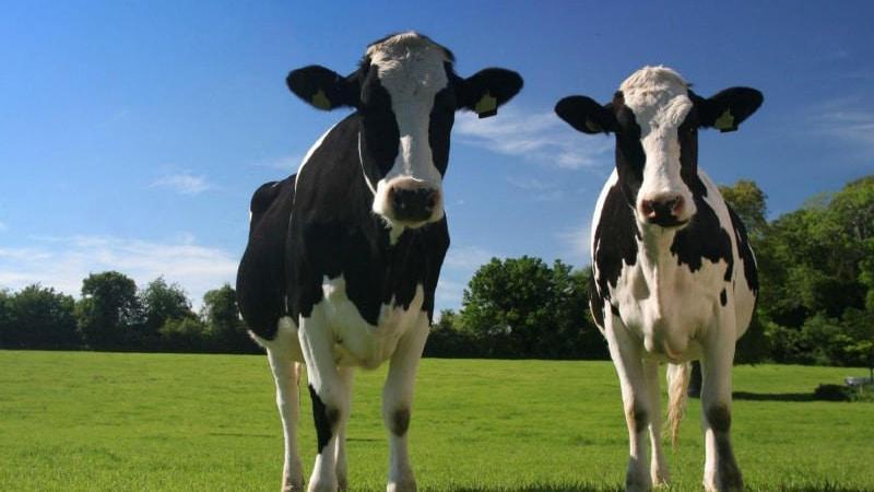 Разведение коров: с чего начать