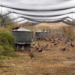 С чего начать разведение фазанов