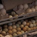 Выращивание фазанов как бизнес