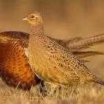 Разведение и содержание в домашних условиях фазанов