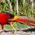 Породы фазанов для выращивания в домашних условиях