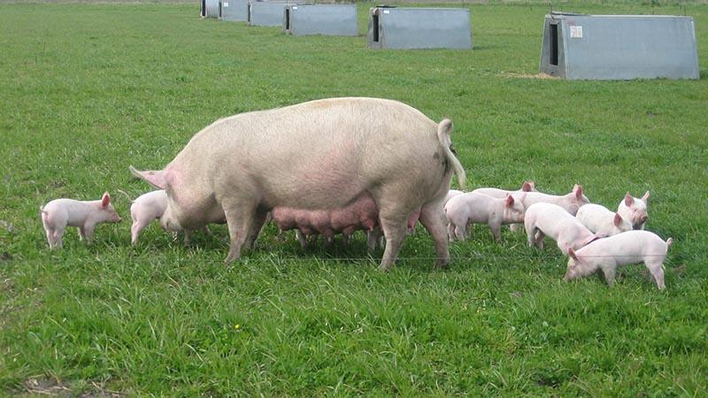 Какую породу свиней выгодно разводить