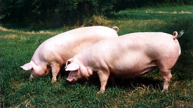 Презентация на тему: Основы свиноводства 21