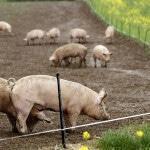 Развод свиней как бизнес