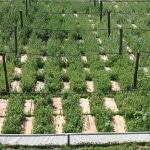 Выращивание виноградной улитки