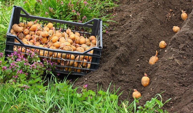 бизнес план по выращиванию картофеля на реализацию