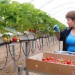 Выращивание клубники в теплице: нюансы и особенности