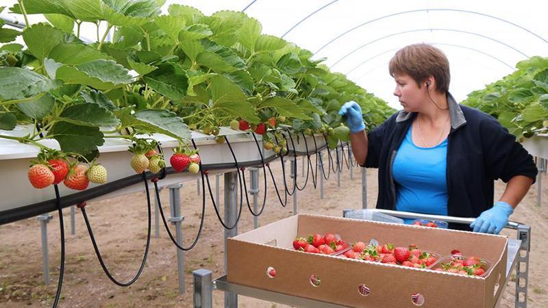 Оборудование для выращивания ягод 58