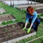 Выращивание клубники в теплице круглый год