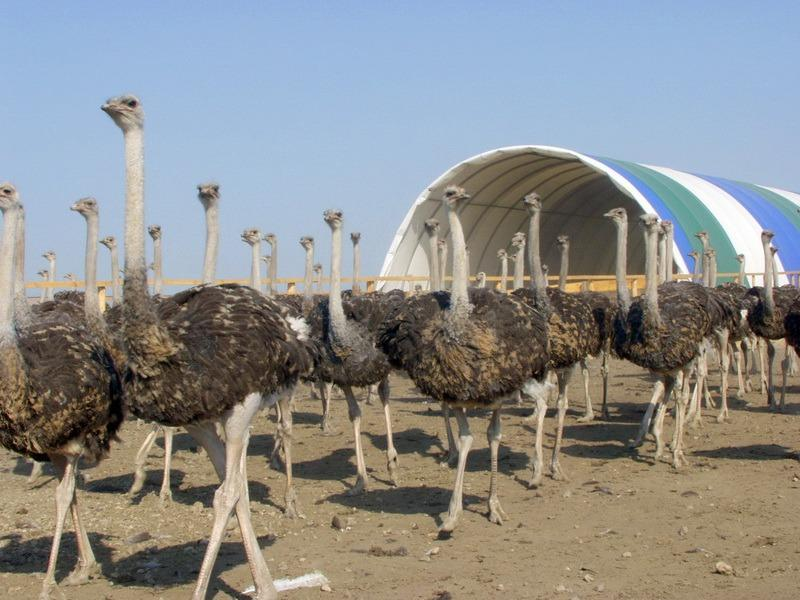 разведение страусов как бизнес видео