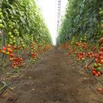 Тепличное хозяйство по выращиванию помидоров и огурцов