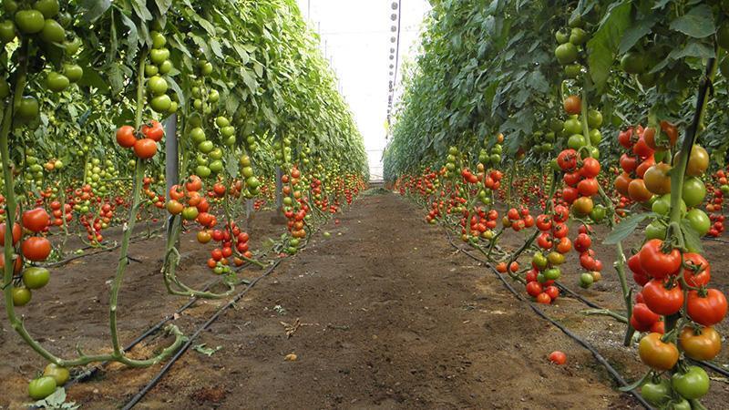 Бизнес план выращивание огурцы 67