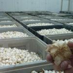 Выращиваем чеснок на бизнес: реализация