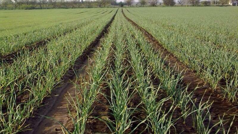 Выращивание чеснока в промышленных масштабах как бизнес и на продажу