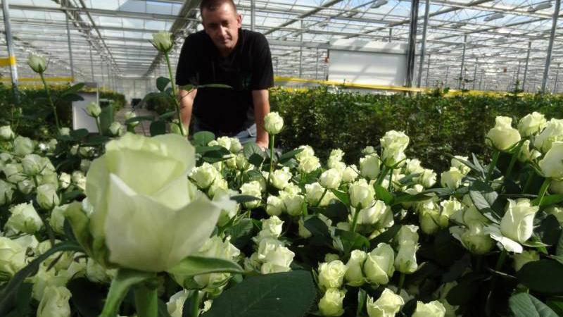 Выращивание роз для бизнеса 273