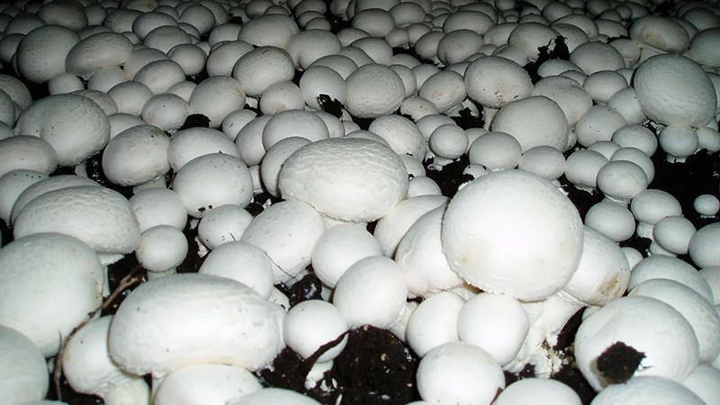 Выращивание грибов шампиньонов как бизнес