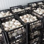 Разведение грибов: нюансы бизнеса