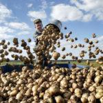 Сотрудники для бизнеса по выращиванию и переработке картофеля