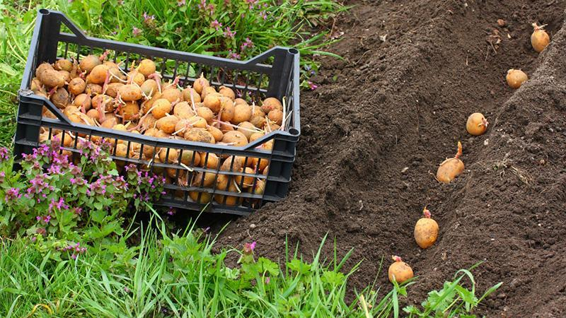 Бизнес на картофеле: посадка