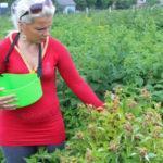 Особенности выращивания и ухода за малиной