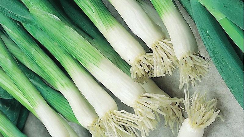 Выращивание лука на зелень на продажу