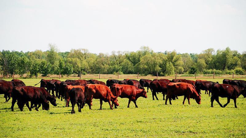 Разведение КРС мясного направления как бизнес